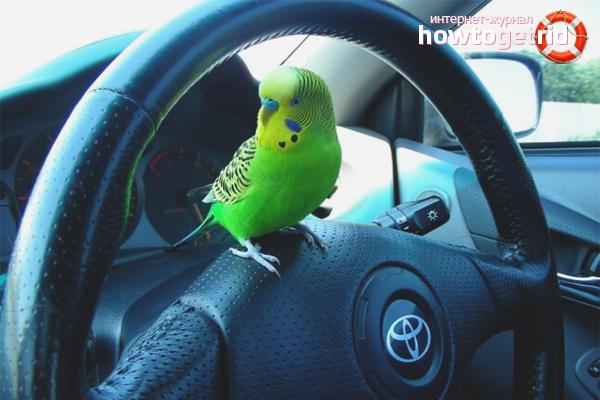 Как ехать с попугаем в машине