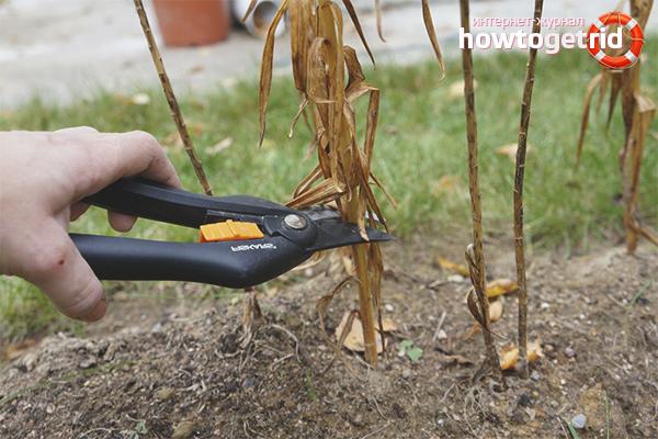 Как обрезать лилии на зиму