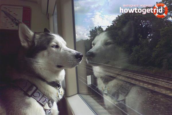 Как перевести собаку в поезде