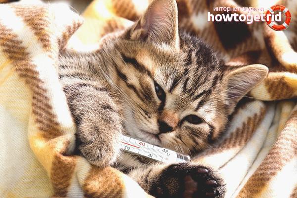 Как сбить высокую температуру у кошки