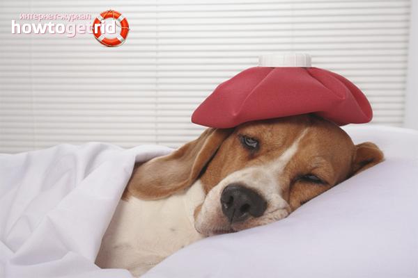 Как снизить температуру у собаки