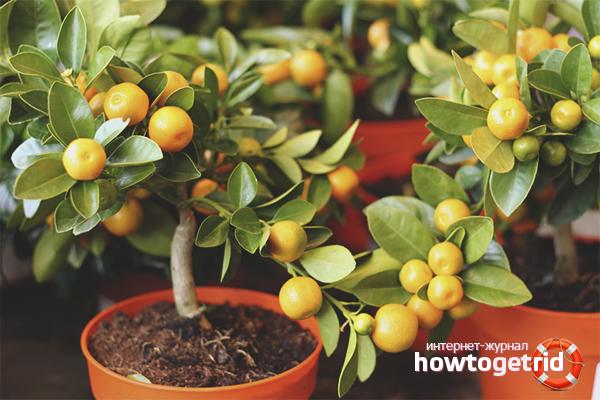 Как ухаживать за мандариновым деревом