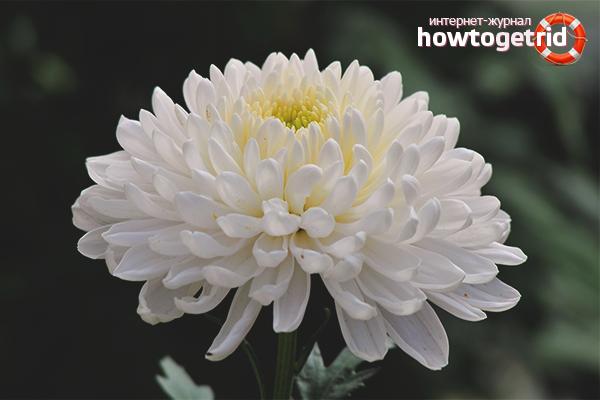 Почему хризантема не цветет