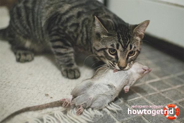 Биологическое оружие от крыс