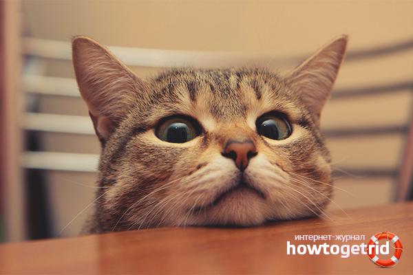 Эффективные способы отучить кошку лазить по столу