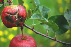 Как бороться с паршой на яблоне