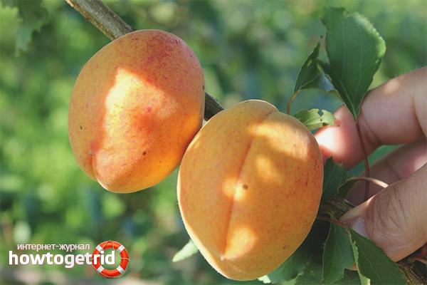 Рекомендации по уходу за абрикосом