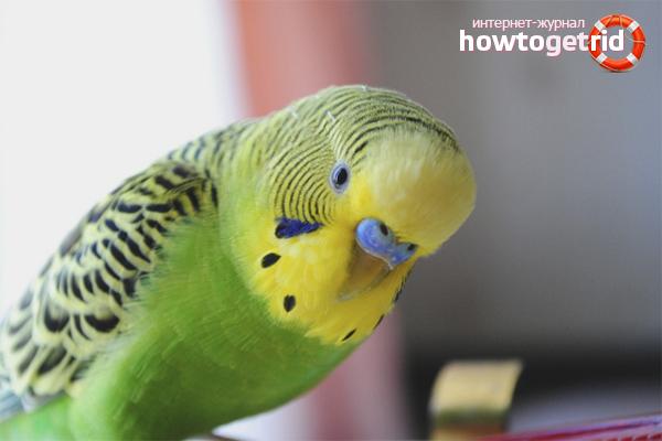 Как определить пол попугая по характеру