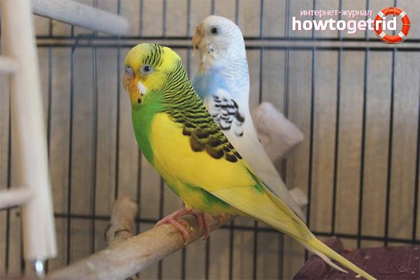 Как определить пол различных попугаев