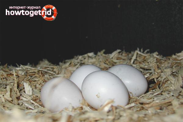 Высиживание яиц попугаями