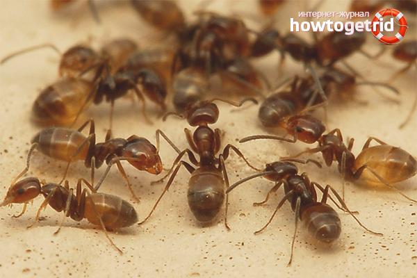 Как вывести домашних муравьев из квартиры