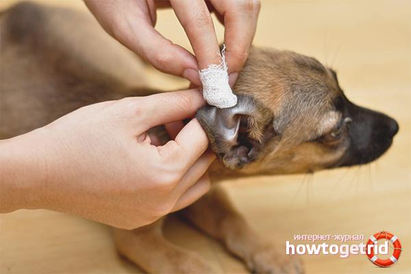 Правила чистки ушей собаке