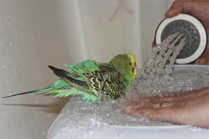 Как купать волнистых попугаев