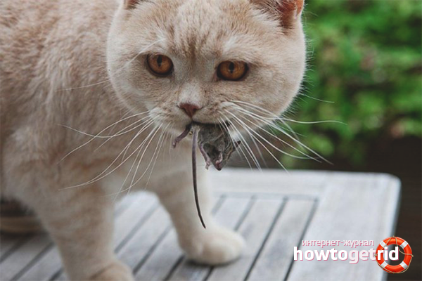Классический метод борьбы с мышами