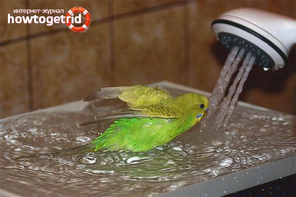 Особенности купания попугаев