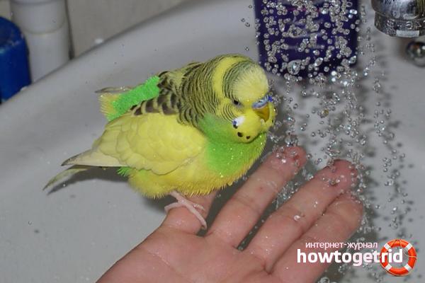 Рекомендации по купанию попугаев