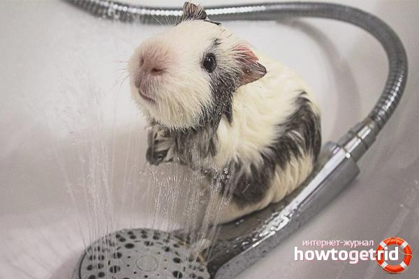 Как купать морскую свинку