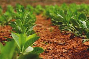 Как на огороде вырастить табак для курения