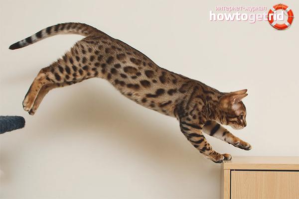Как научить кошку прыгать
