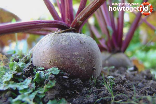 Как выращивать свеклу в открытом грунте
