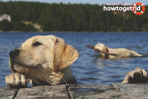 Постепенное обучение собаки плаванию