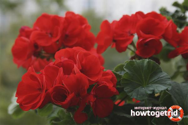 Секрет цветения герани