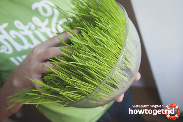 Употребление зелени пророщенной пшеницы