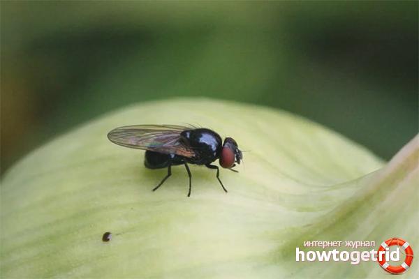 Как избавиться от луковой мухи на грядке