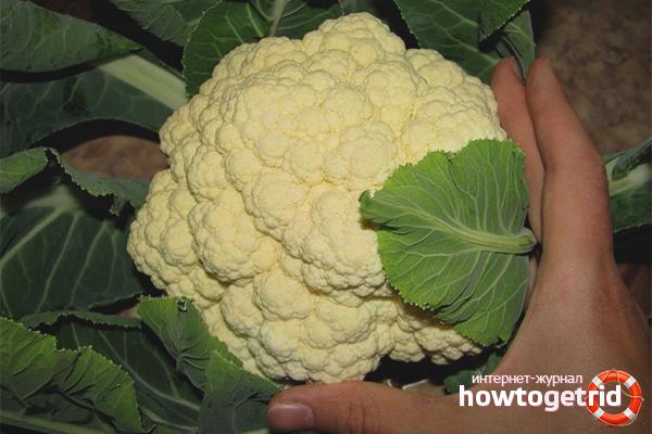 Как получить белые головки у цветной капусты