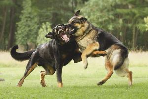 Как разнять дерущихся собак