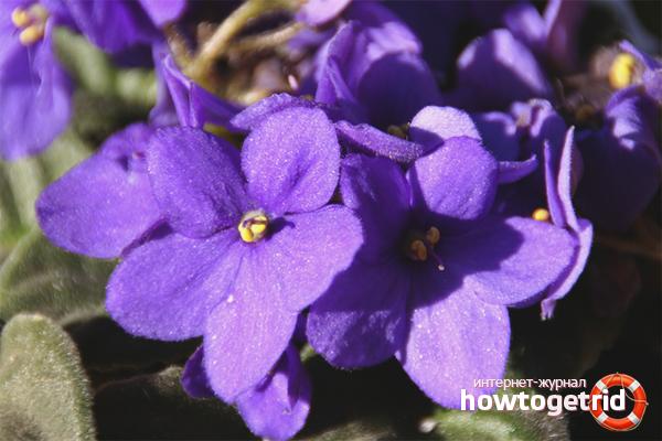 Комнатная фиалка цветет