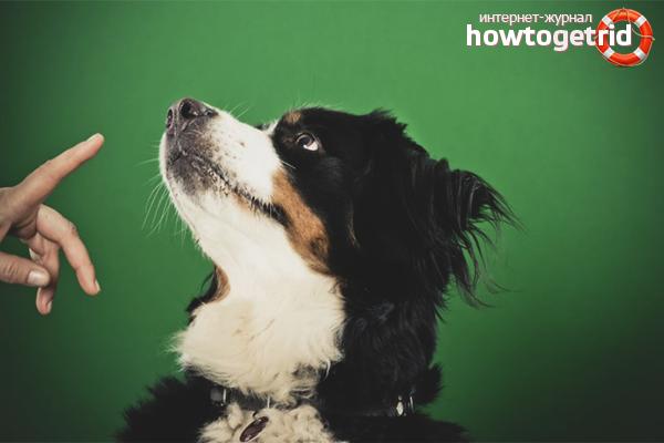 Обучение взрослой собаки команде «Фу!»