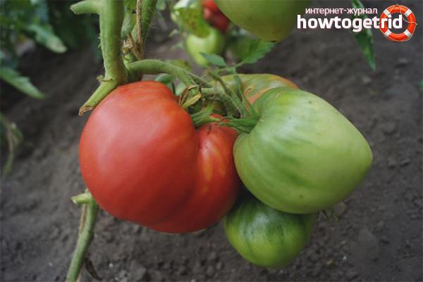 Подкормки для выращивания крупных томатов