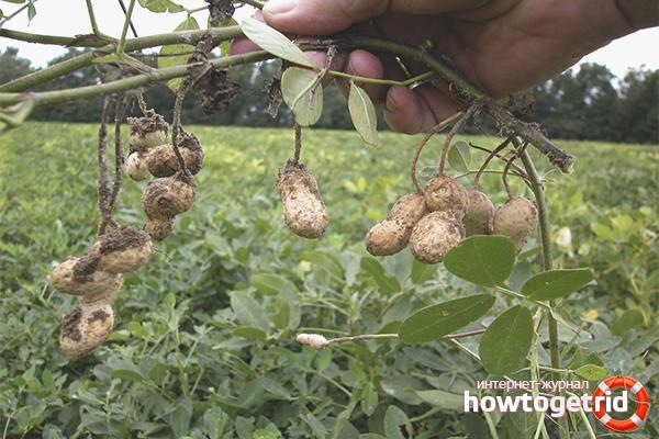 Собираем урожай арахиса на огороде