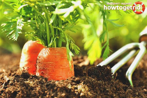 Уход за морковкой