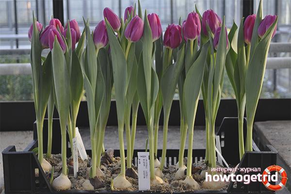 Условия содержания тюльпанов