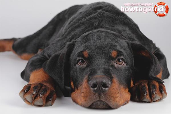 Внешний вид больной собаки
