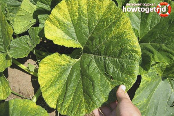 Что делать если у тыквы желтеют листья