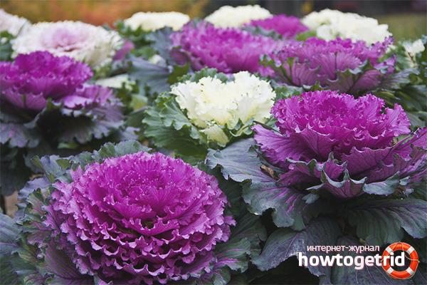 Как вырастить декоративную капусту