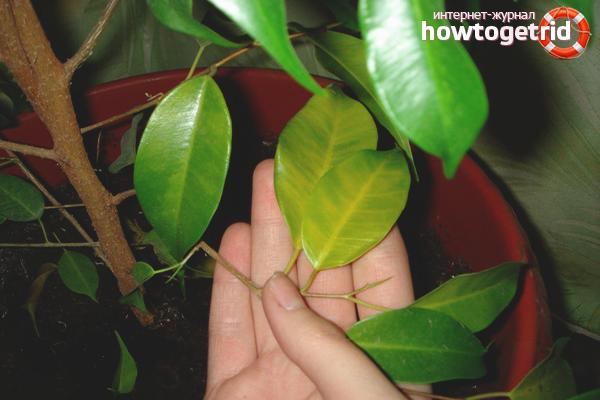 Почему у фикуса желтеют и опадают листья