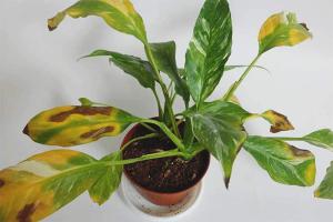 Почему у спатифиллума желтеют листья