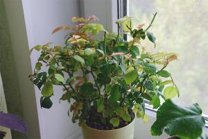 Почему желтеют листья у комнатной розы