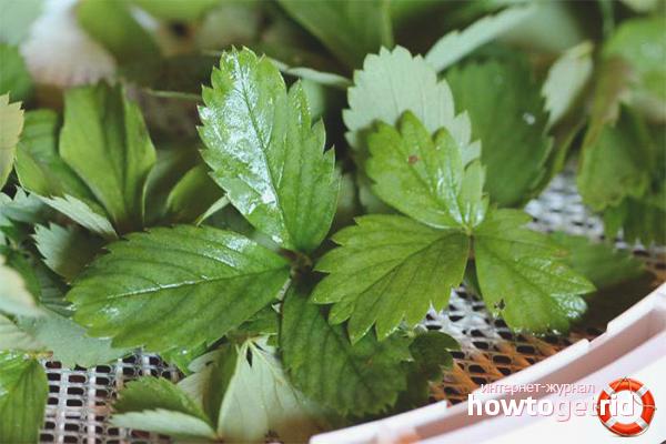 Полезные свойства отвара из листьев земляники