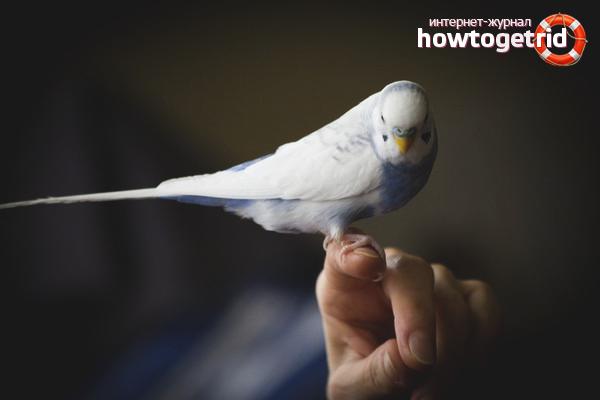 Попугай на руках