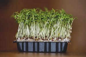 Польза и вред кресс-салата