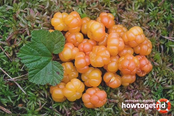 Что готовят из ягод морошки