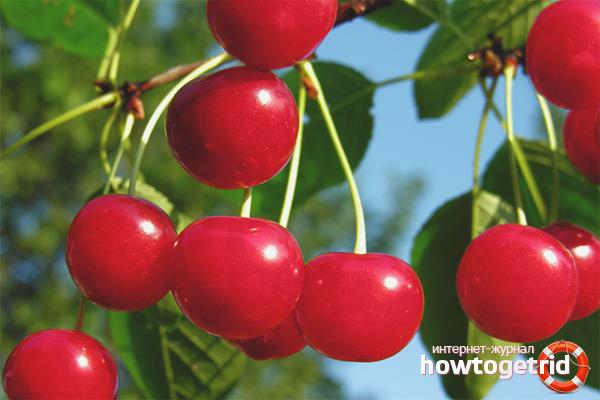 Вред вишни для организма