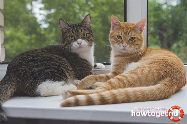 Налаживание отношений между кошками