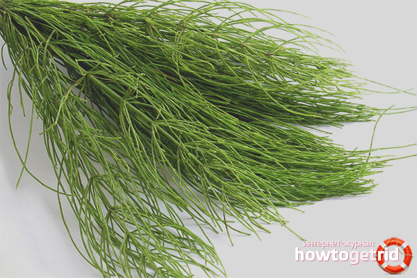 Лечебные свойства и противопоказания полевого хвоща