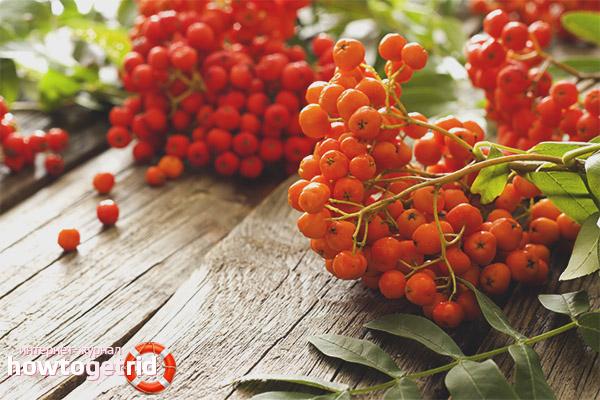 Полезные свойства и противопоказания красной рябины